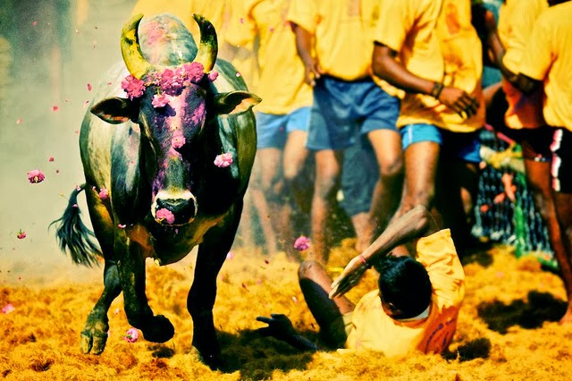 jallikattu protest news