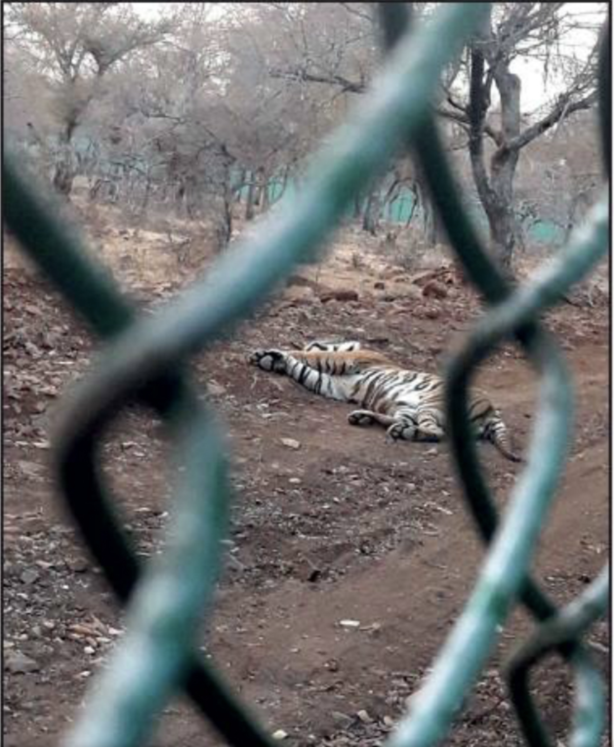 Deaths of Tigers